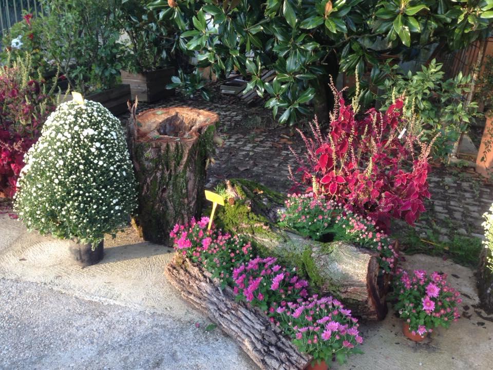Vendita di crisantemi in vaso e recisi green park - Crisantemi in vaso ...