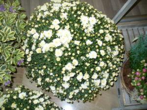 Pianta fiori margherite bianche a Thiene – Vicenza – Marano Vicentino, Zanè, Carrè, Chiuppano – Fioreria Benetti Marco