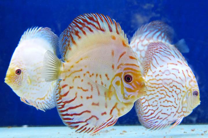 Pesci e piante d 39 acqua dolce e salata vicenza cornedo for Pesci acqua dolce online