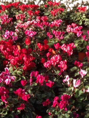 Vendita piante autunnali – Vicenza – Rosà, Dueville, Marostica – Green Park